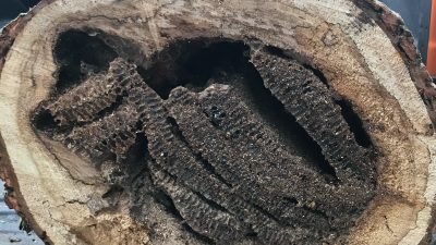 Cross section of tree trunk bee colony